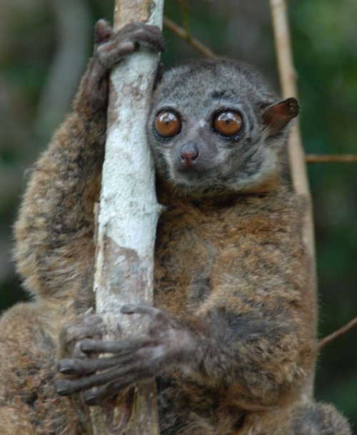 lemur de scott