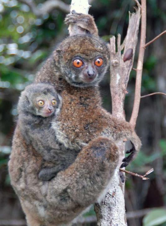 lemur lanudo