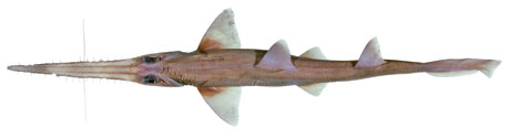 Pristiophorus