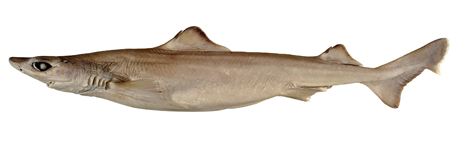 Dogfish southern
