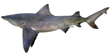 Tiburón de rio del norte
