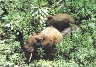 Una de las pocas imágenes del elefante pigmeo