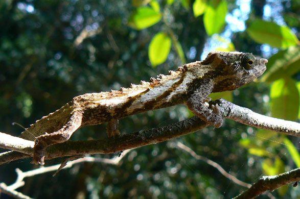 ¿Una nueva especie de camaleón espinoso?