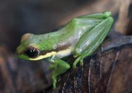 Chiromantis samkosensis. Por Fauna & Flora International in Camboya