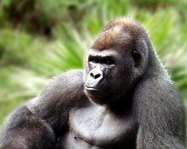 Gorilla gorilla
