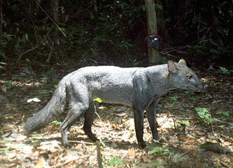 090128-03-jungle-animals-rare-short-eared-dog_461
