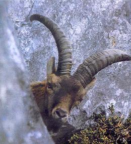 El Bucardo se extinguió en el año 2000