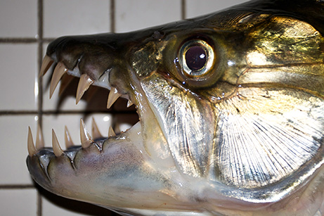 """El pez tigre es un autentico """"monstruo"""" de rio"""