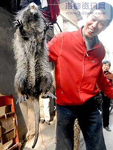 La rata alcanzo el peso estimado de más de 3 kilos. Foto: http://news.163.com