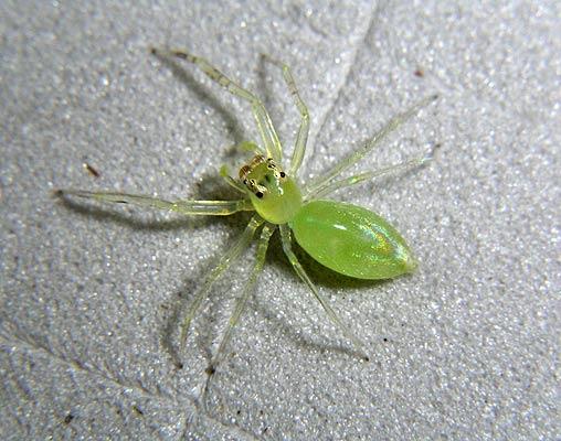 Esta araña Orthrus ha resaltado entre los investigadores por su capacidad para saltar grandes distancias. Esta especie junto a otras han aparecido en la selva de Papúa Nueva Guinea.
