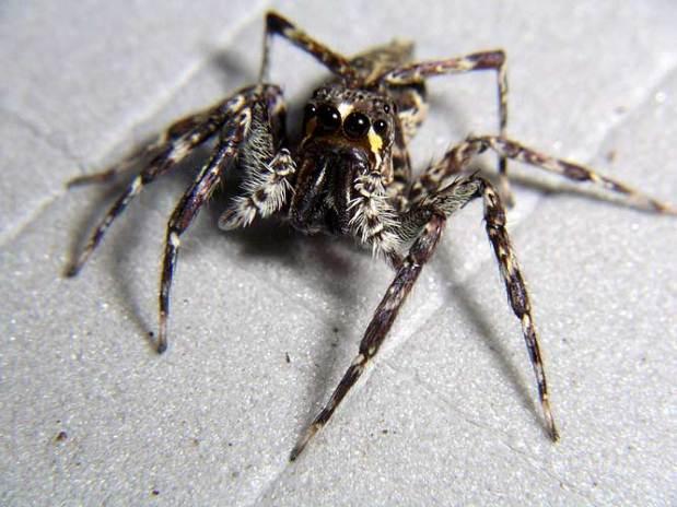 Otra de las arañas encontradas en este particular 'Arca de Noe' es la araña Tabuina varirata que también realiza saltos en la selva.