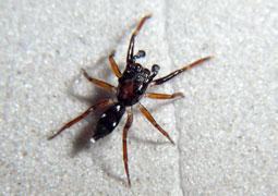 (Cucudeta zabkai) Esta pequeña araña saltarina, parece más una hormiga que un arácnido, lo único que se conoce de su hábitat es que vive entre la hojarasca