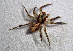 (Tabuina rufa) Esta especie no es sólo nueva sino que se ha creado todo un género para ella sola. Pertenece a la subfamilia Cocalodinae, únicas en Nueva Guinea