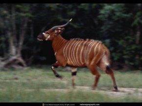 Una de las últimas imágenes del Bongo. Foto: Michael Nichols