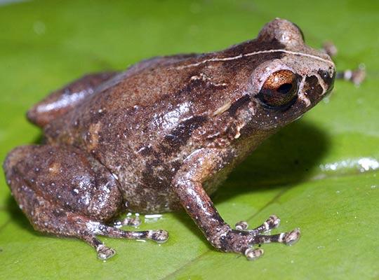(Oreophrybe Sp.) Este genero es muy común en bosques tropicales. Pone sus huevos en los árboles o en el suelo.