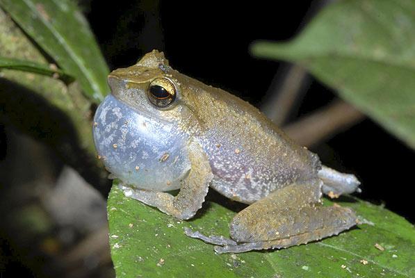 (Litoria sp.) Esta rana posee un poderoso canto que se escucha por encima del sonido del río. Pone sus huevos bajo las piedras del río.