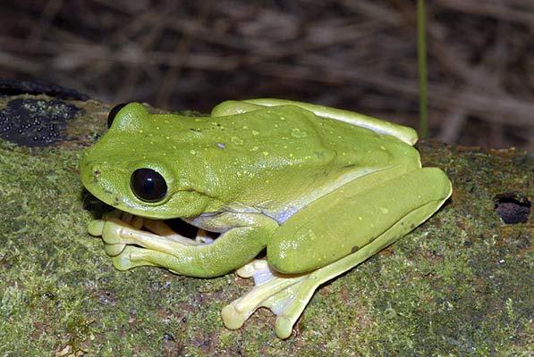 Este ejemplar de rana es la Nyctimystes que destaca por sus saltones ojos y su color verde.