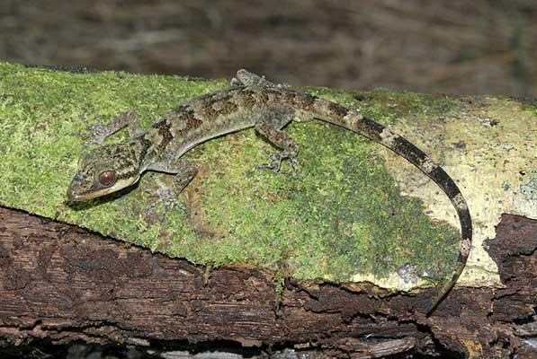 (Cyrtodactylus sp.) Este ejemplar de The Cyrtodactylus es gecko, poco se sabe de él.