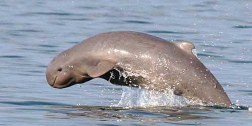 EL delfin Irrawady esta incluido en el libro rojo de especies amenazadas