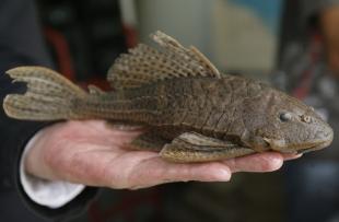 El pez fue descubierto en 2004 pero no se confirmo hasta hoy. Foto: Heraldo de Soria