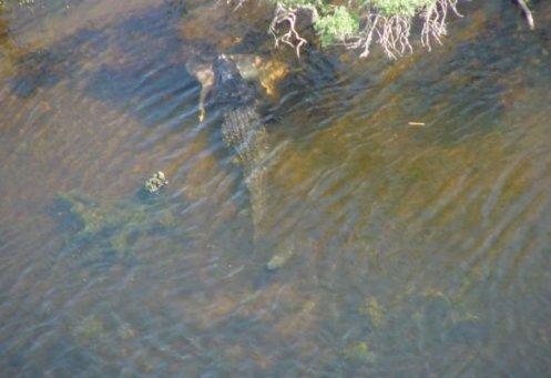 ¿Un caimán gigante en Alabama? Foto: Forteanzoology