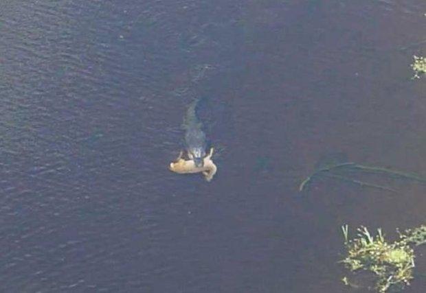 Se busca quien estime el tamaño del caiman basandose en el tamaño del ciervo. Foto: Forteanzoology