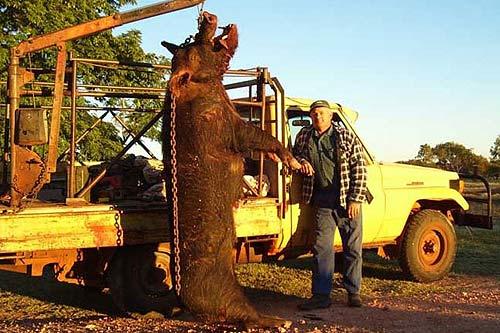 La foto del jabal gigante es autentica seg n sunday times - Cazar ratones en casa ...