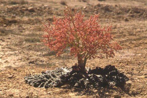 La Rheum palaestinum sólo s econtraba hasta ahora en Jordania. © Photo by Amikam Shoob, Tel-Aviv University