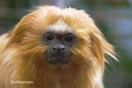 La nueva especie pertenece a la familia de los Tamarinos, en la imagen. Foto: VRestrepo
