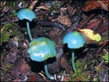 Estos hongo azules estan pendientes de confirmación como nueva especie