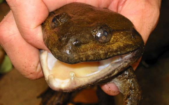 """Los científicos dicen que la rana con """"colmillos"""" se alimenta de pequeños pájaros"""