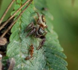 Éste tipo de arañas son los únicos que buscan plantas como primer fuente de alimento.