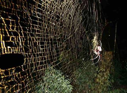 La tela de una araña Nephila inaurata mide más de un metro de diámetro. Foto EL PAIS