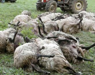Algunas de las ovejas que resultaron muertas por el repentino incremento de la temperatura del terreno