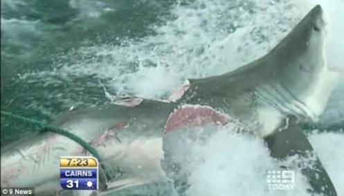 Tiburón blanco literalmente partido a la mitad por otro