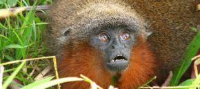 Nueva especie de mico monógamo