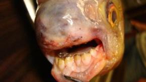 Es probable que el animal sea un Colossama macropomum