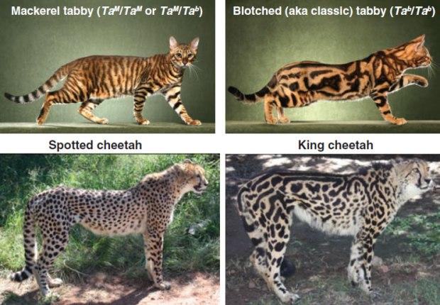 Tabby_cheetah