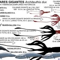 Calamares gigantes: Tamaños record, edad y ritmo de crecimiento